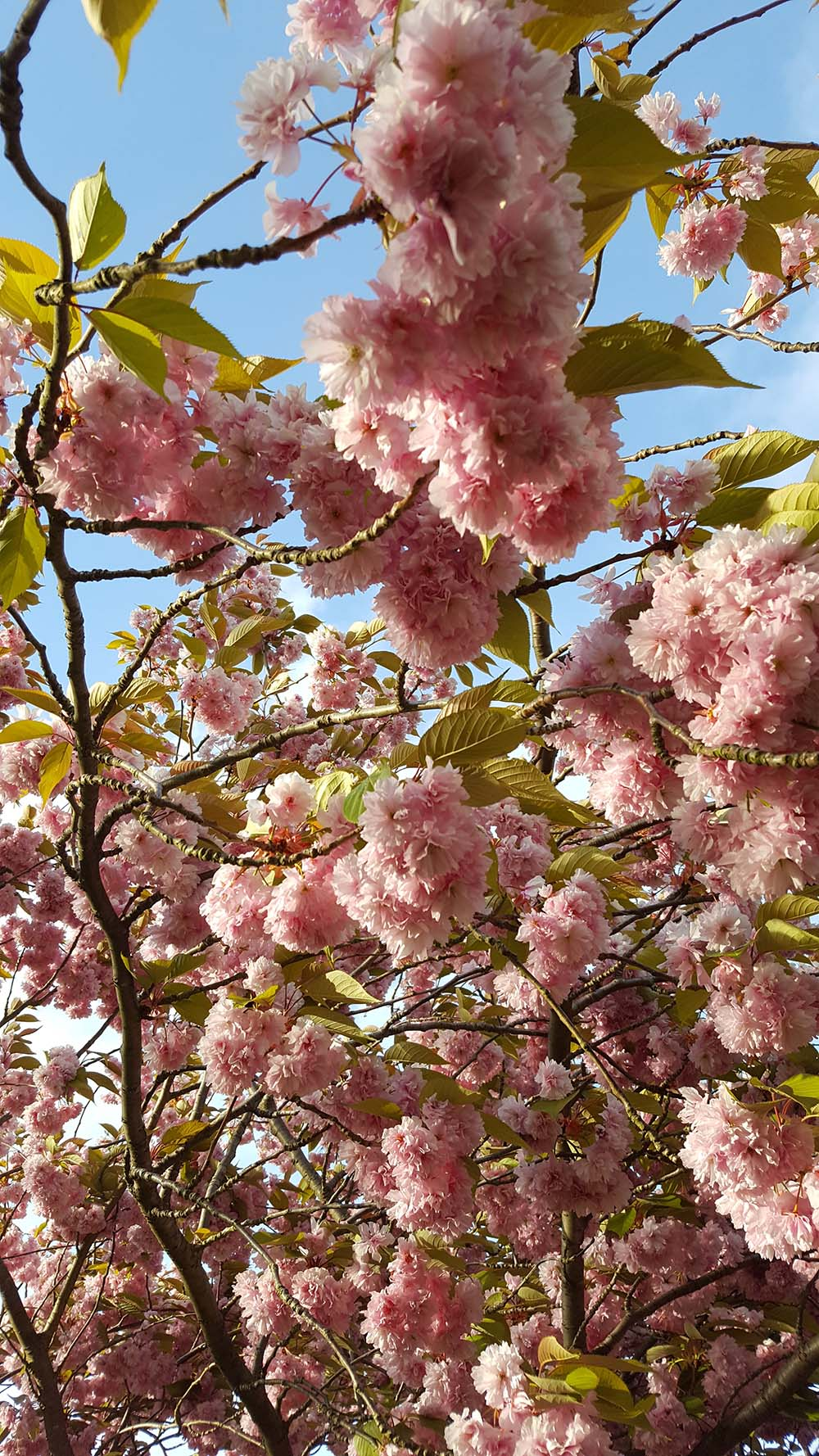 cherry-tree-kew-gardens