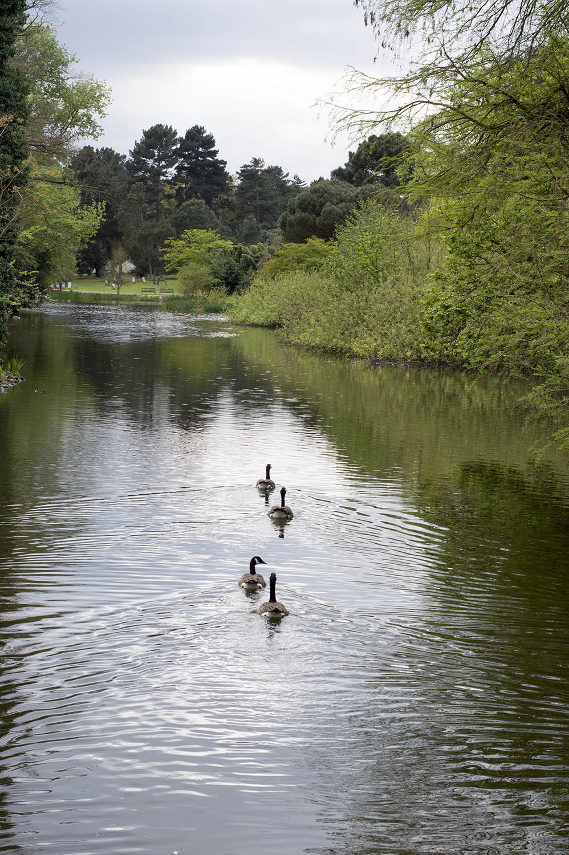 kew-duck-family